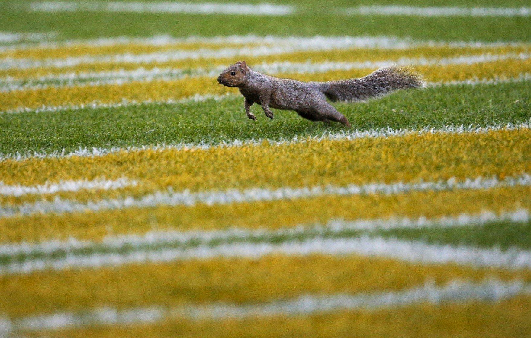 Esquilo invade jogo no Lambeau Field